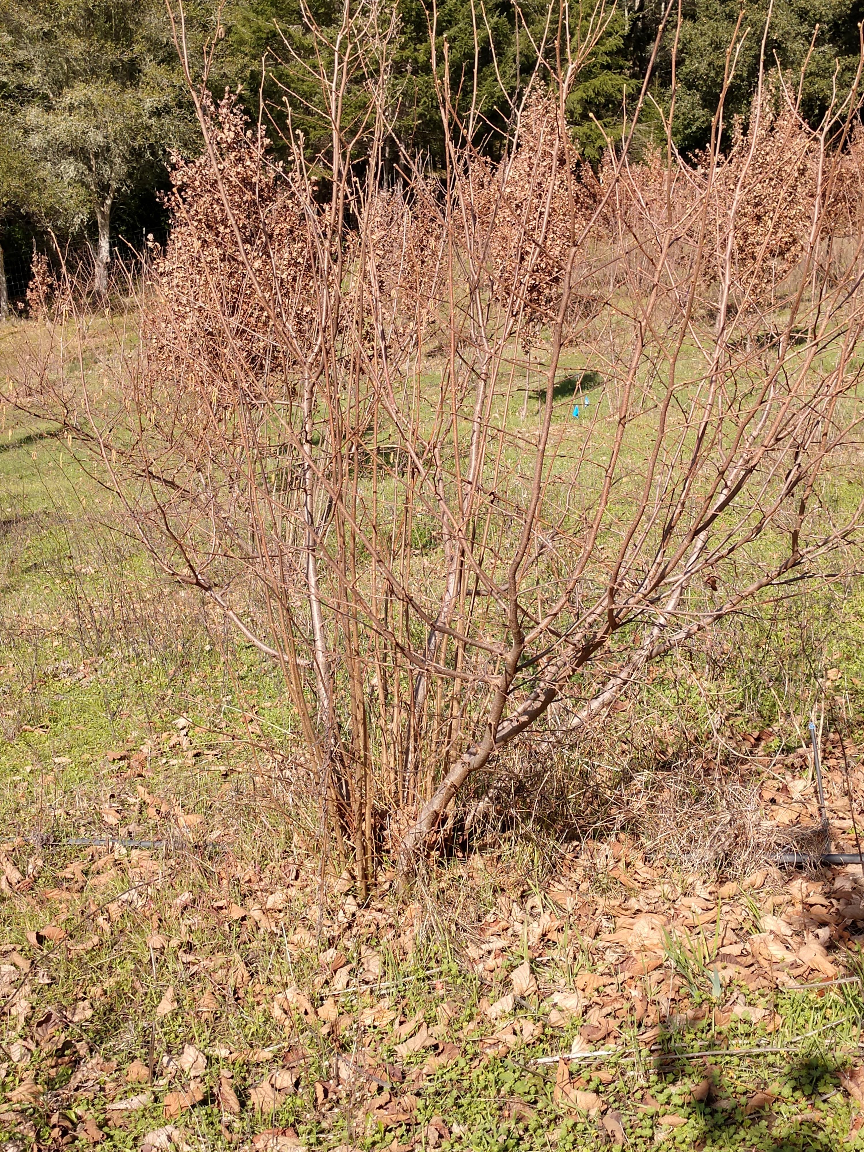 hazel tree pre pruning